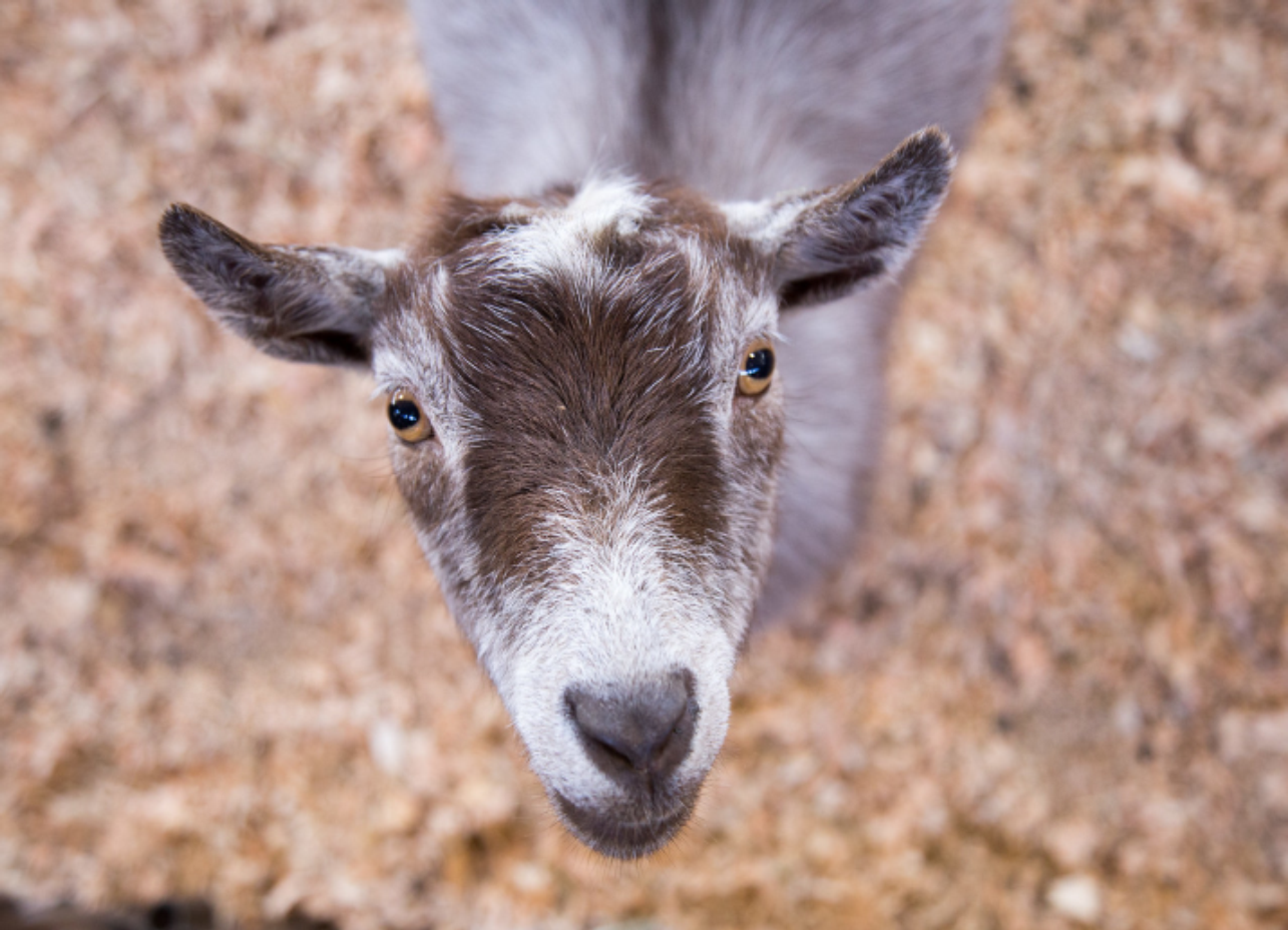 close up of a goat's face