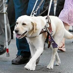 Close up of a Guide Dog  in harness walking with owner