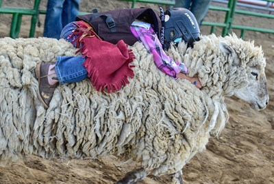 A Girl hanging on at Mutton Bustin