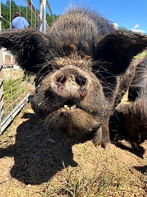 Meet Chunk & Delta + their piglets!