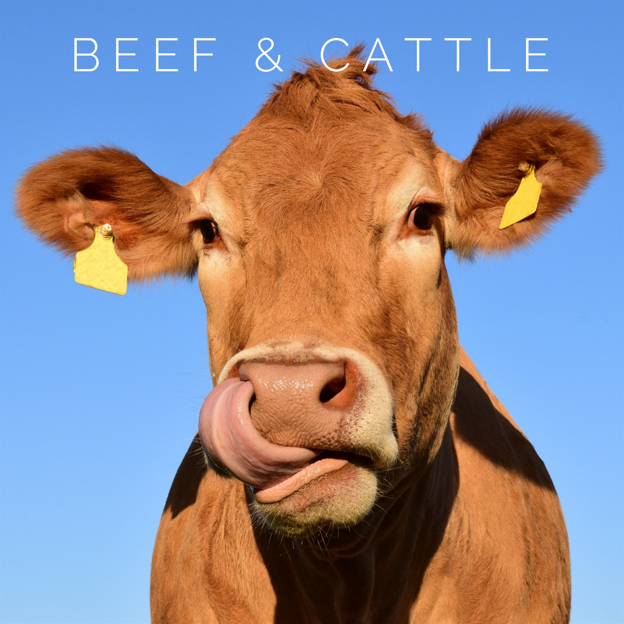 Beef & Cattle