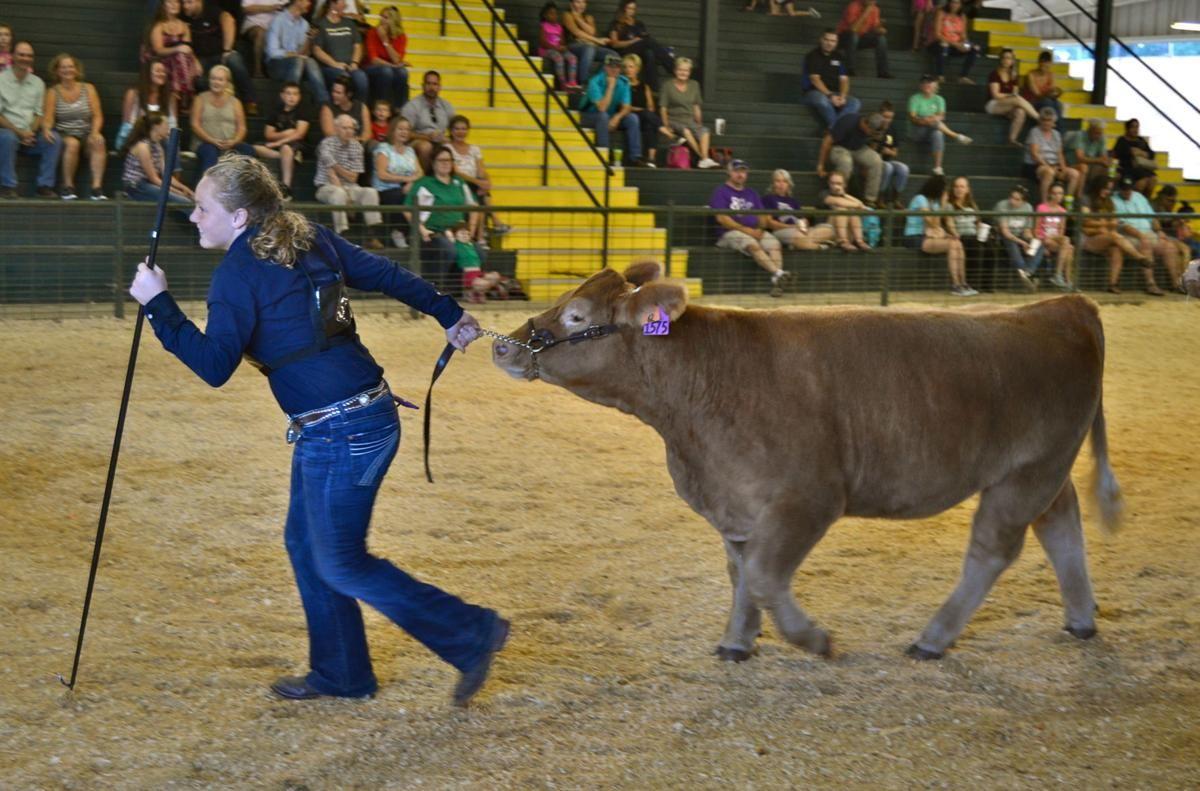 Girl leading heifer in cattle show