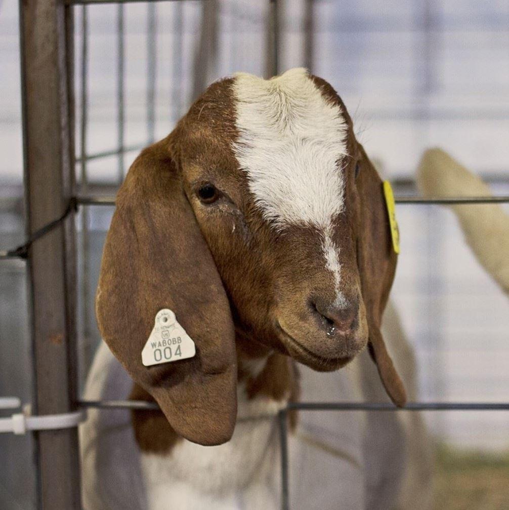 4-H/FFA Goat