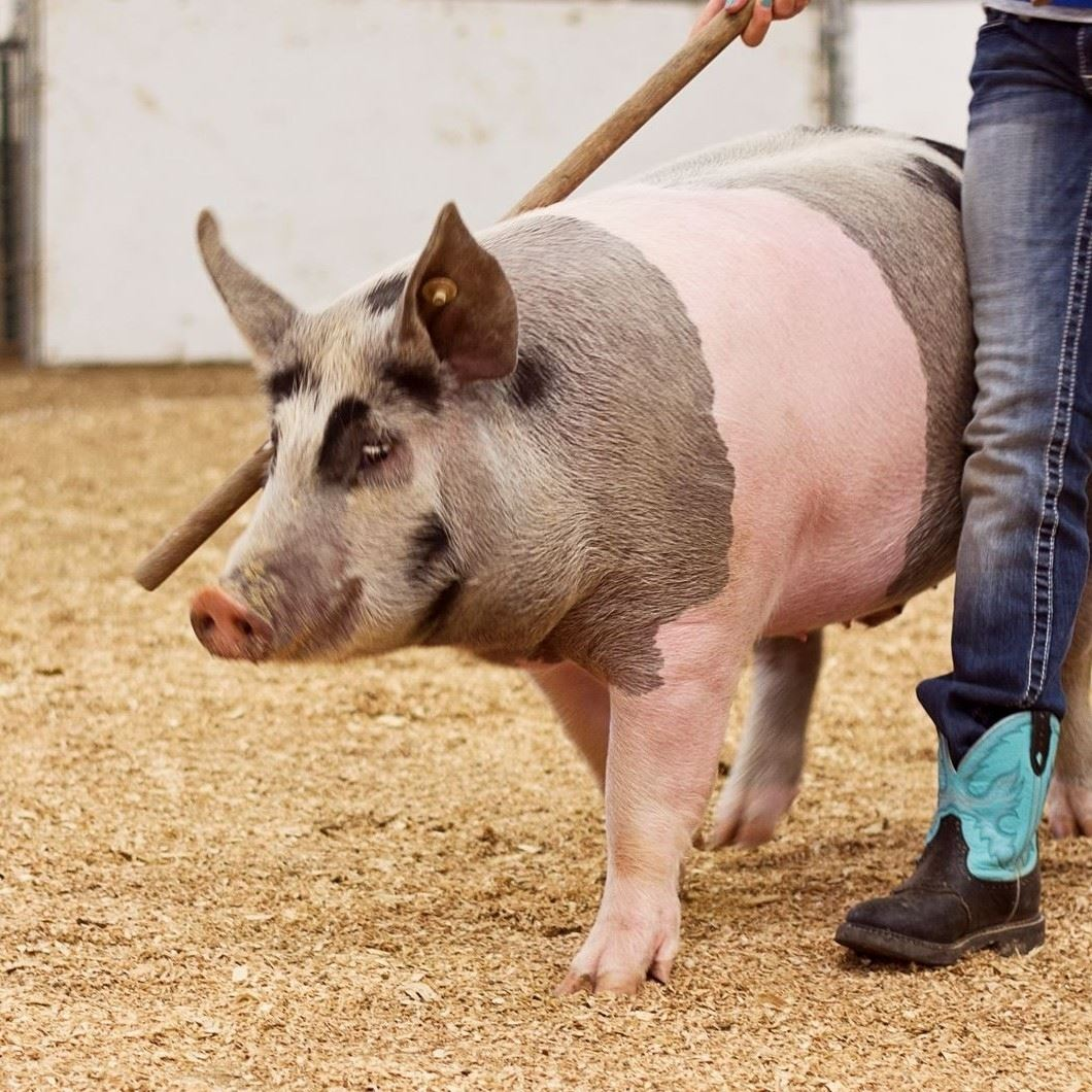 4-H/FFA Swine