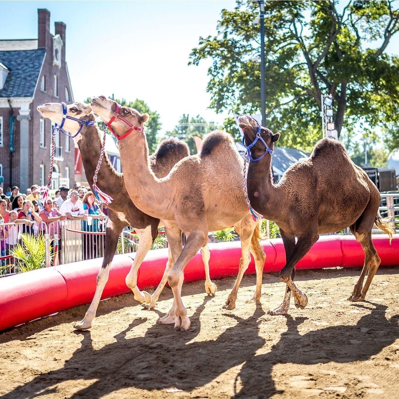 Camel Kingdom