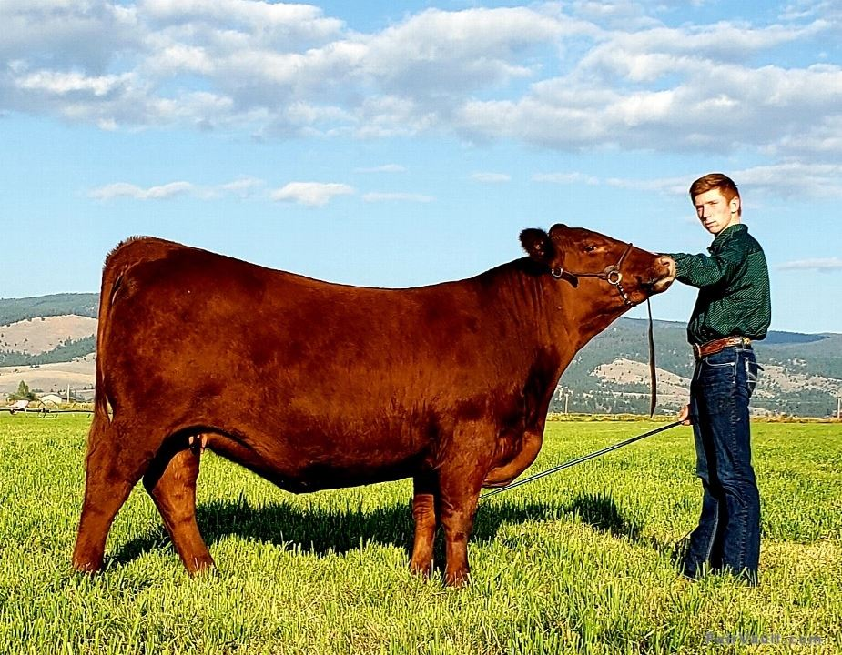Reserve Champion Red Angus Female