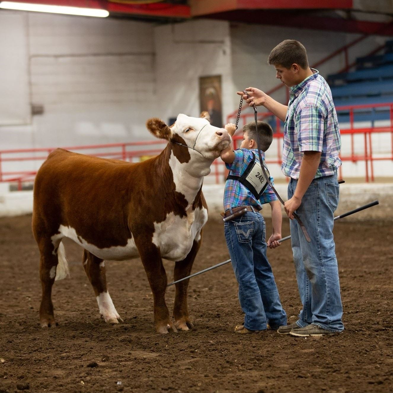 Bboy showing a red and white hereford heifer in an arena with the help of an older boy.