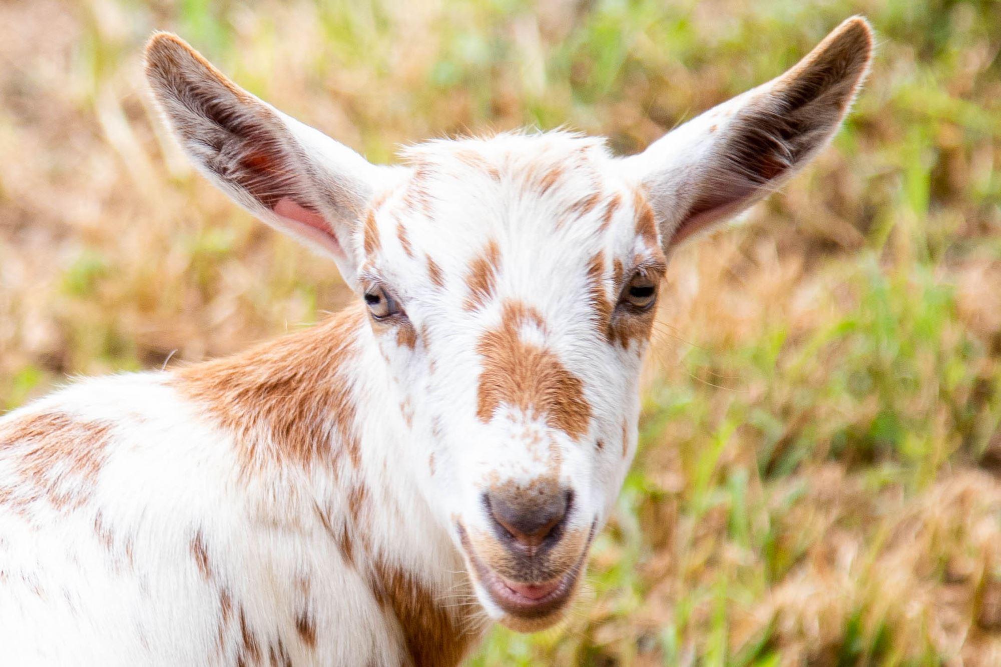 Open Goat