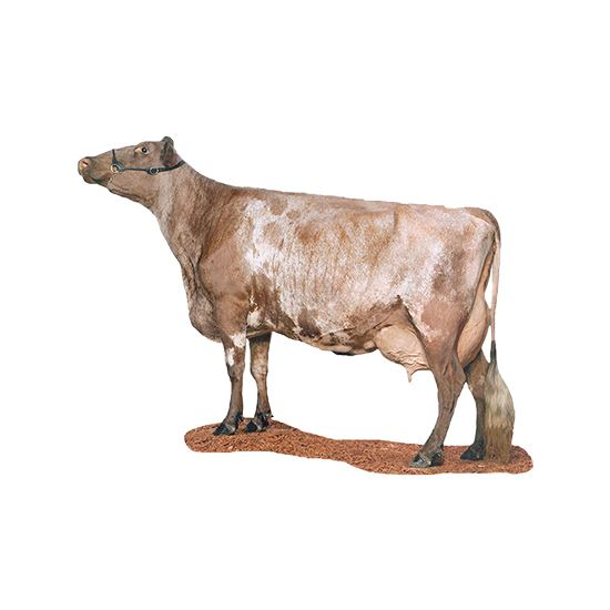 Milking Shorthorn