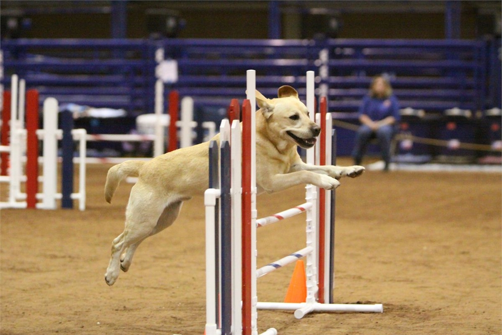 yellow lab, jumping