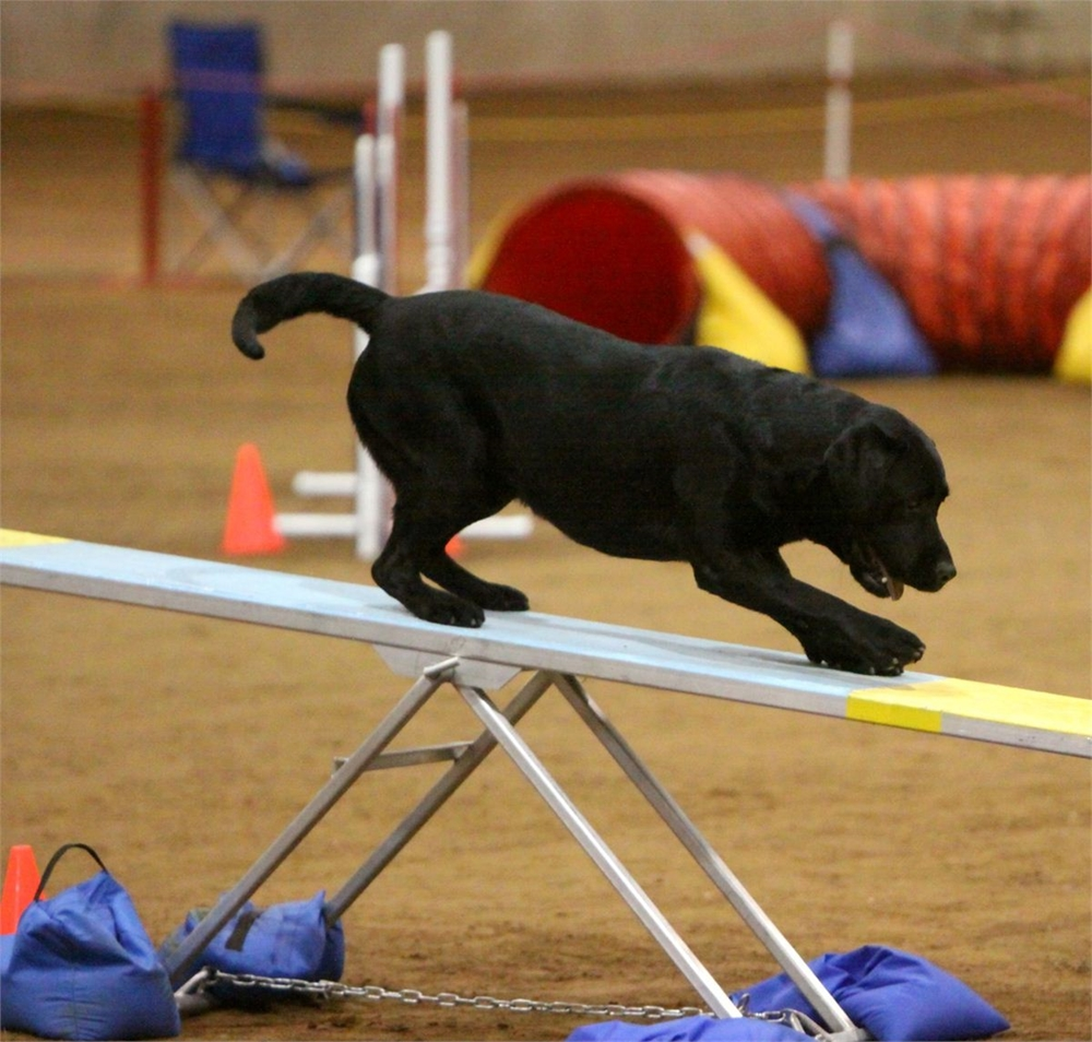 black lab, see saw