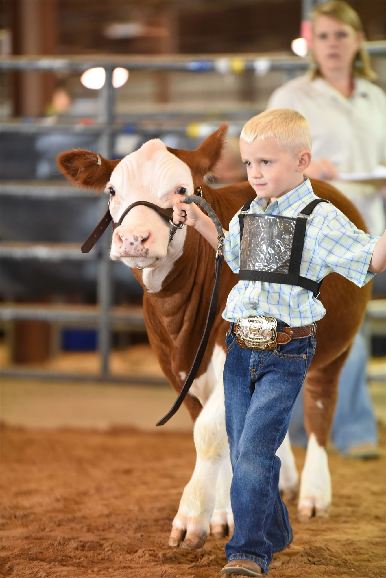 red and white calf, little boy, showstick, halter, jeans, boots, belt, belt buckle