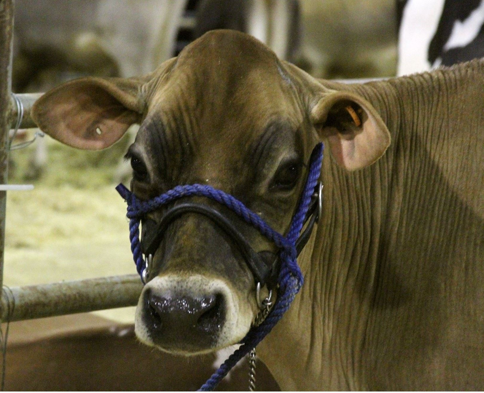 Dairy cow with link to enter Livestock and Jr. Livestock.
